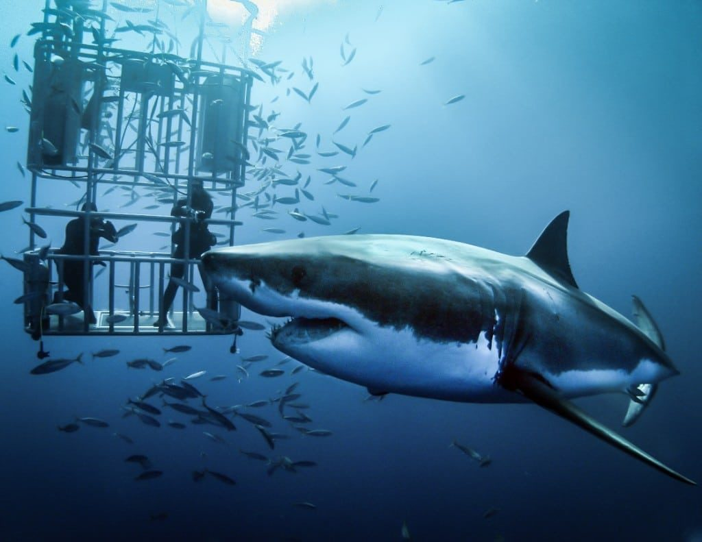 Bucket list ideas - Cage dive with great white sharks