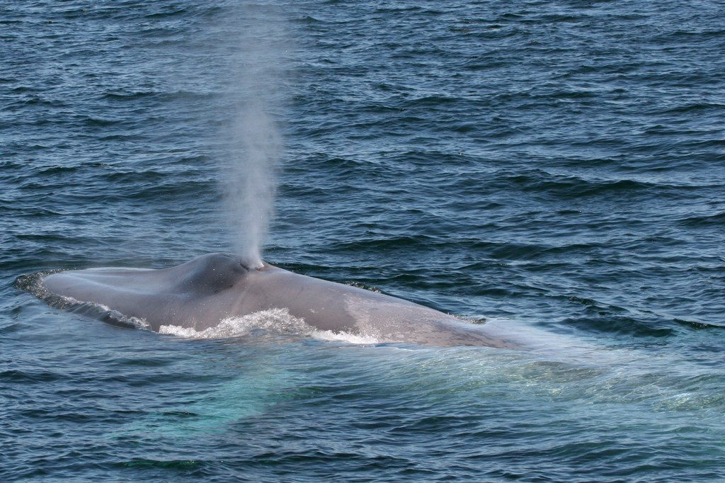 Watch Blue whales - Bucket List